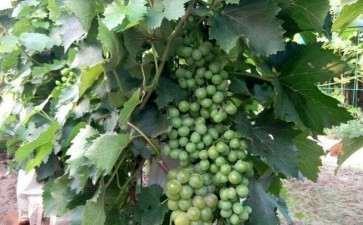 寒地盆栽葡萄怎么管理的3个方法
