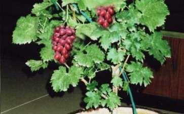 葡萄盆栽怎么肥水管理的方法