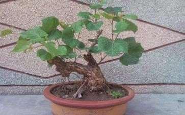 葡萄盆栽怎么育苗和栽植的3个方法