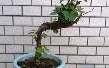 葡萄盆栽怎么换盆和修根的2个方法