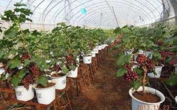 葡萄盆栽的越冬保护和病虫害防治