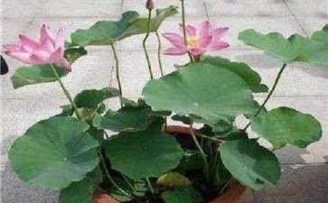 家庭怎么栽培荷花盆栽的3个方法