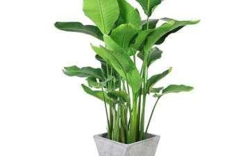 鹤望兰盆栽怎么温度与光照的方法