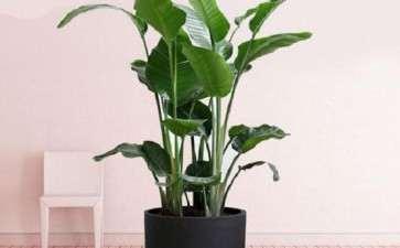 鹤望兰盆栽怎么水肥管理的3个方法