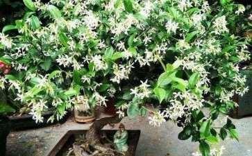茉莉花怎么盆栽的5个方法
