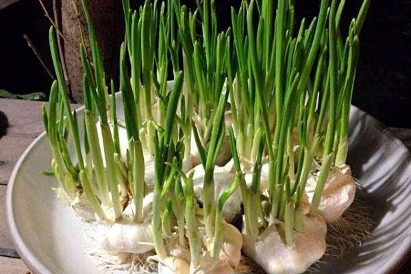 怎么在居室盆栽蔬菜的方法