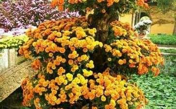 菊花盆栽怎么浇水施肥的方法