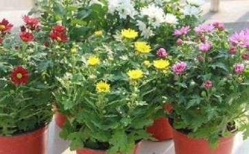 菊花盆栽怎么摘心矮化的方法