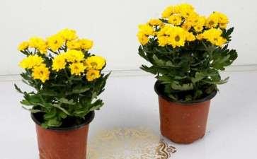 菊花盆栽怎么上盆施肥的2个方法