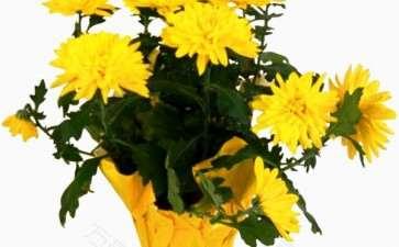 盆栽菊花怎么防止雨和防治病虫