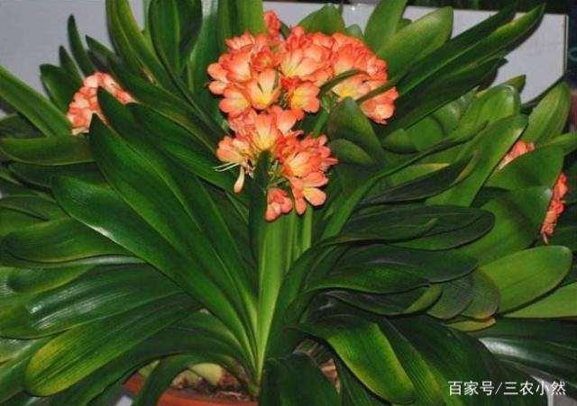 君子兰花卉有什么生物学特性