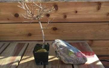 榆树下山桩怎么制作抱石盆景的方法