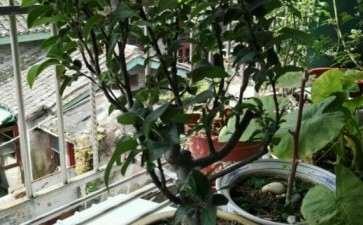 冬红果下山桩挂果了 要不要施肥 图片