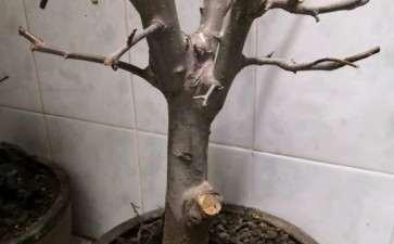 这颗是冬红果海棠下山桩吗 图片