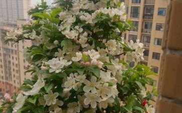 冬红果下山桩开花也可以很美丽 图片