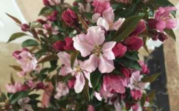 冬红果下山桩用授粉吗 开了好多花