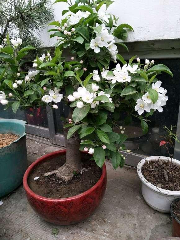 冬红果下山桩开花了 用不用给它授粉呢