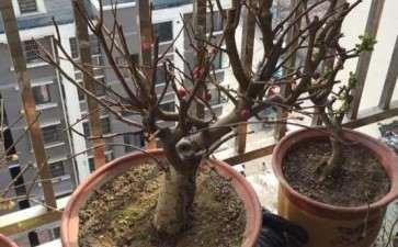 发一个我家的冬红果下山桩 现在还没发芽