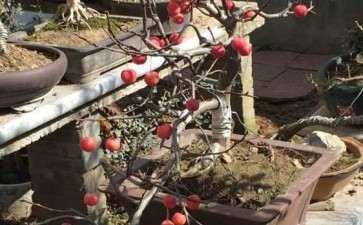 高压的冬红果下山桩 怎么样 图片