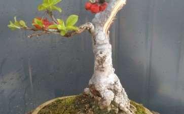 冬红果下山桩 发新芽 图片