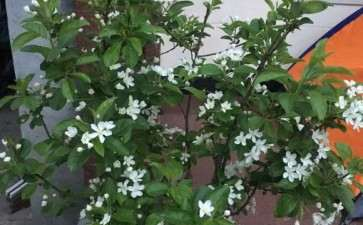 冬红果下山桩的新芽 如何打顶  新手