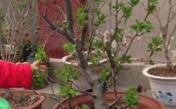 为什么冬红果下山桩 今年又没有花苞了
