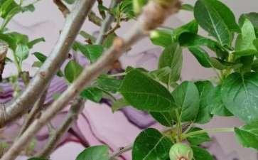 冬红果下山桩挂果了 主要打顶吗 图片