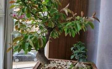 这是北美海棠下山桩的什么品种 图片