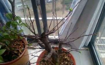 这树是冬红果海棠树下山桩吗 图片