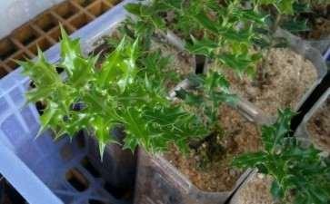 米叶枸骨下山桩种了1个月 油亮叶性 漂亮