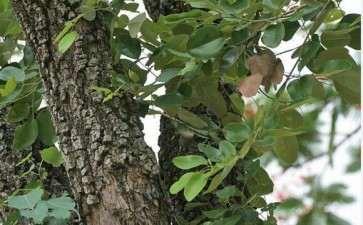 小叶紫檀下山桩怎么生桩的方法 图片