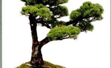 图解 松树盆景《高风亮节》创作的小记