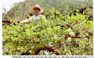 紫花三角梅盆景有哪3个优点 图片