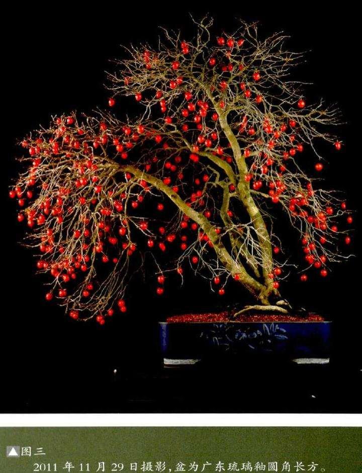 老鸦柿盆景怎么创作的方法