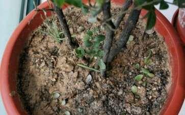 黑骨茶下山桩用什么肥料比较好