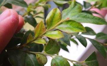 黑骨茶下山桩的叶子为什么有斑点