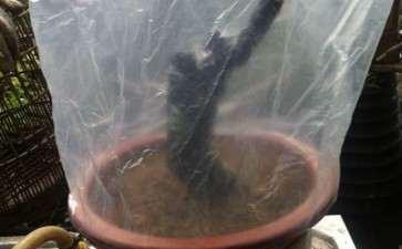 黑骨茶下山桩怎么泥土种植的方法 图片