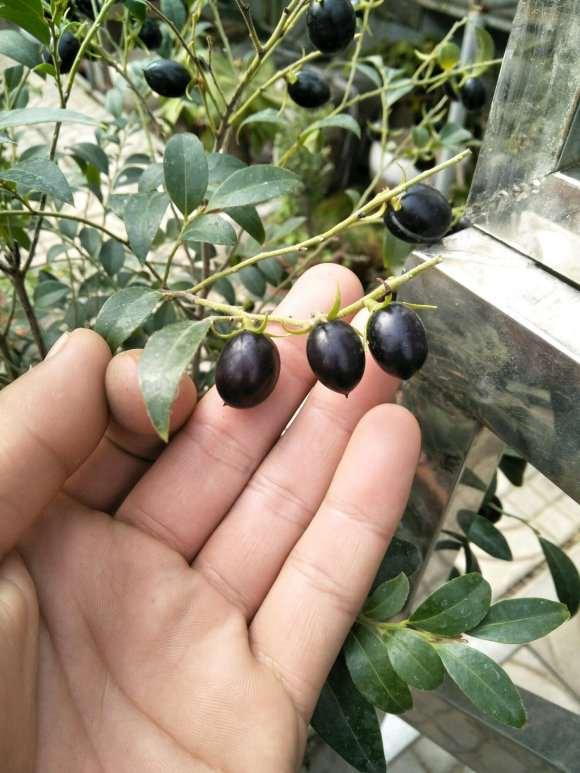 黑骨茶下山桩果子 尝了尝 涩 图片