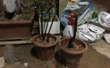 黑骨茶下山桩怎么配土和种植的方法