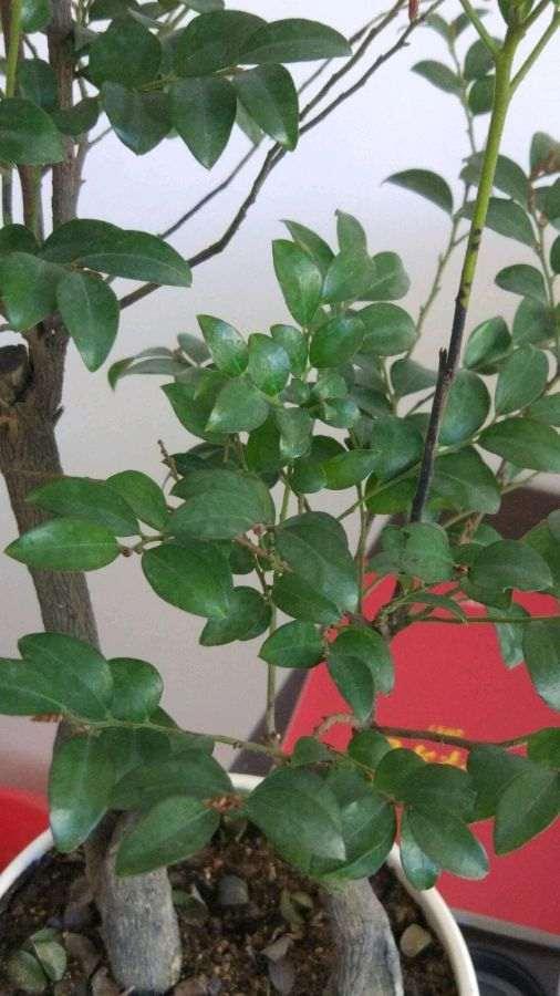 黑骨茶下山桩掉叶子 不长新芽了