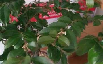 黑骨茶下山桩叶子发干 怎么办 图片