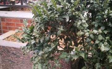 黑骨茶下山桩 叶子卷了干枯 怎么办