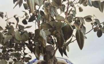 黑骨茶下山桩叶子都掉了 怎么办 图片