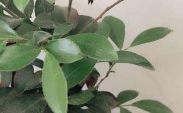 黑骨茶下山桩一般多久都发芽长根