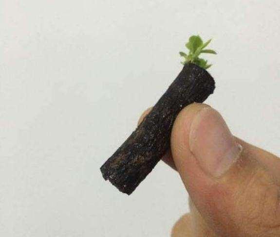 黑骨茶下山桩扦插 叶子长得挺好