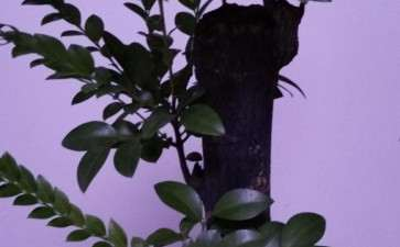 黑骨茶下山桩叶子慢慢发卷 变干 怎么办