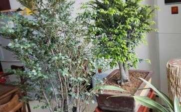 黑骨茶下山桩的种子播种前需要晒干吗