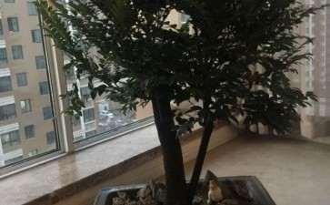 黑骨茶下山桩什么时间剪枝子 冬天可以吗