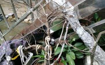 黑骨茶下山桩得了什么病 叶子都掉光了