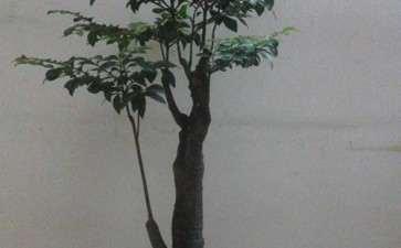 种了好久的黑骨茶下山桩怎么造型 图片